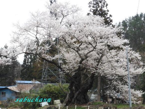 お助け桜.jpg