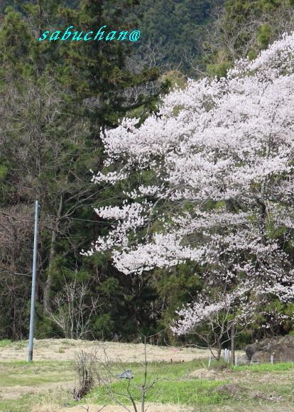 お助け桜 (3).jpg