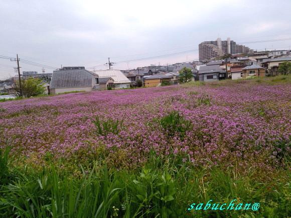 ホトケノザ小川にて (1).jpg